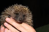 foto of tame  - the young tame hedgehog is in hand - JPG