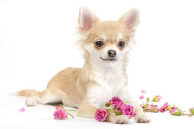 picture of chiwawa  - nice chihuahua dog with roses flowers on white background - JPG