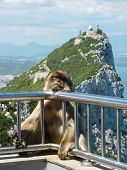 stock photo of gibraltar  - A Barbary macaque rests on the guard railing over a sheer cliff at the summit of the rock of Gibraltar.