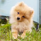 Pomeranian. Little dog spitz outdoors