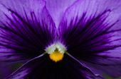 Tricolor Violas Or Pansy