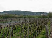 Vineyard And Countryside During Spring
