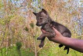 pic of coyote  - Coyote (Canis Latrans) Pup Held in Hand - captive animal