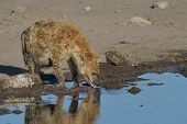 picture of hyenas  - Pregnant hyena drinking in Etosha National Park - JPG