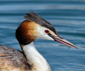 picture of great crested grebe  - Crested grebe duck  - JPG