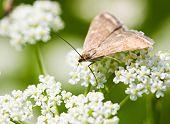 Brown Moth On White Flowers Macro
