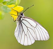 White Butterfly On Yellow Flower Macro