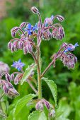 Borage Officinalis Rare Blue Flower