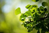 Ginkgo biloba tree branch with leafs against lush green background