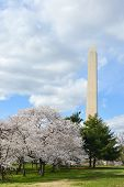 Washington Monument in Spring during Cherry Blossom Festival. Washington D.C. USA