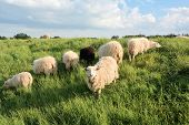 sheep in green grass