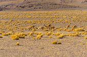 Bolivia, Antiplano - vicunas