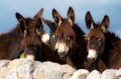 stock photo of soma  - group of donkeys near the wall of stones with grass and sky background - JPG