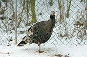 Turkey Standing On Only One Leg In Winter