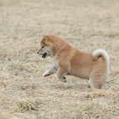 Nice Shiba Inu Puppy Running