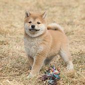 Beautiful Puppy Of Shiba Inu