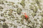 foto of mites  - Red Velvet Mite Insect Close Up Details - JPG