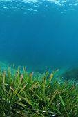 Sea Grass seaweed
