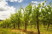 vineyard in Baden-Baden with retro filter effect