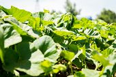 Green Vegetable Garden