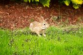Wild Rabbit Eating Grass Out Of Yard