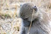 baboon kruger park thought nature