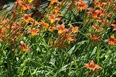 foto of day-lilies  - Day lilies are rugged - JPG