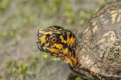 Alabama Box Turtle Closeup - terrapene carolina