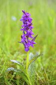 Broad-leaved marsh-orchid (Dactylorhiza majalis)