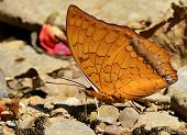 Beautiful Common Commander Butterfly In Nature Environment With Sharp Details