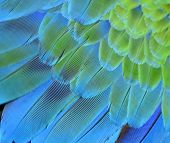Beutiful Of Blue And Green Macaw Bird Feathers In Close Up