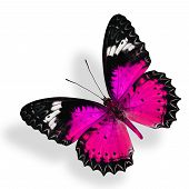 Flying Pink Butterfly Isolated On White Background With Soft Shadow