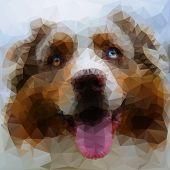 Australian Shepherd face illustration