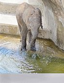 A baby Elephant splashes in pool(1).