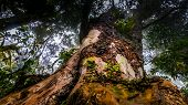 Large Tree In Rainforest, Kilimanjaro
