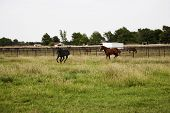 Thoroughbred horses running and playing in a field