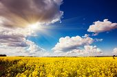 Yellow rapes flowers and blue sky with white fluffy clouds. Ukraine, Europe. Beauty world.