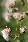 Dry Fluffy Flowers