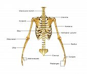 stock photo of sternum  - The rib cage is an arrangement of bones in the thorax of animals - JPG