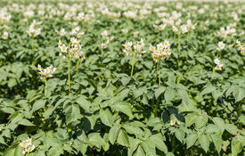 stock photo of solanum tuberosum  - Closeup of white and yellow blossoming potato or Solanum tuberosum plants on a sunny day in the early summer season - JPG