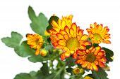 Chrysanthemum,