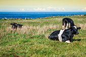 stock photo of sea cow  - Spanish milk cow in the seaside farmAsturias Spain  - JPG