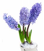 stock photo of bosoms  - Hyacinths flowers in  pot  isolated on white background - JPG