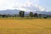 Gold Paddy Field