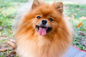 stock photo of pomeranian  - Close up of Pomeranian dog on green grass - JPG