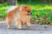 Pomeranian Dog Running In The Park