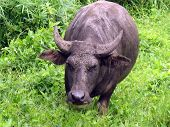 pic of carabao  - A Carabao from the Philippines getting a bit too curious - JPG