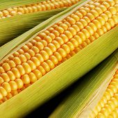 picture of corn cob close-up  - corn cob between green leaves close up - JPG