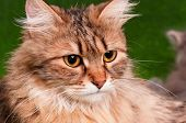 Close-up portrait of a beautiful adult cat on green background