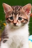 Close up portrait of a cute small kitten